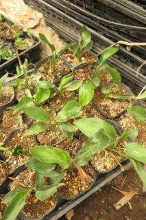 小型細葉系中間種2年苗
