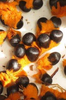小型ジャンセア交配種子10粒