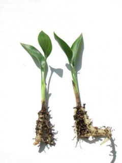 小型黄色花系中間種1年苗