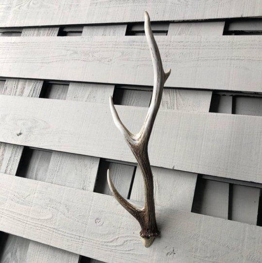蝦夷鹿の角 壁飾り 001