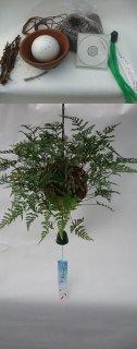 常緑つりしのぶ 約15cm玉材料セット