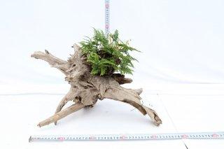 流木 常緑しのぶ付き A-33