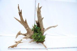 流木 常緑しのぶ付き A-80