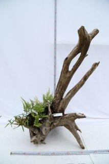 流木 日本産しのぶ付き A-45