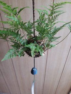 つりしのぶ(常緑種/約9cm玉)