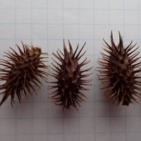 オオオナモミ 種子/50g
