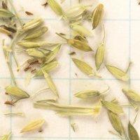 オオクサキビ 種子/5g