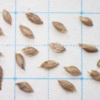 スズメノテッポウ 種子/10g/発芽促進処理済