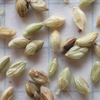 アキノエノコログサ 種子/30g