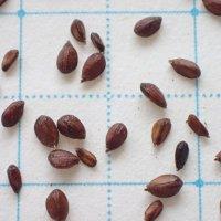 ウツボグサ 種子/0.5g