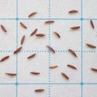 オニタビラコ 種子/0.1g