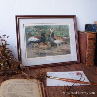 デヴォンの図書館に棲んでいた南方の鳥 /Antique Print of The Royal Natural History London with Vintage frame