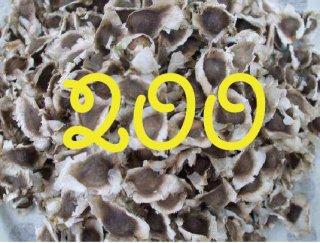 モリンガネシアンの種 200粒