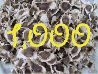 モリンガネシアンの種 1,000粒