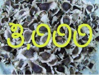 モリンガネシアンの種 3,000粒