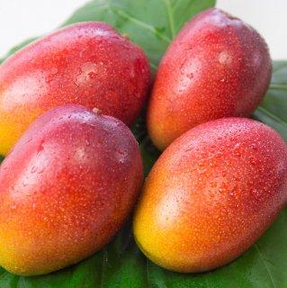奄美大島産 完熟マンゴー | 秀品 1kg~