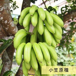 島バナナ (小笠原種) 2kg~