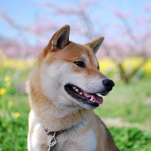 権太(ごんた)柴犬