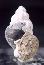 ミクリガイ: Siphonaria(明世町月吉)