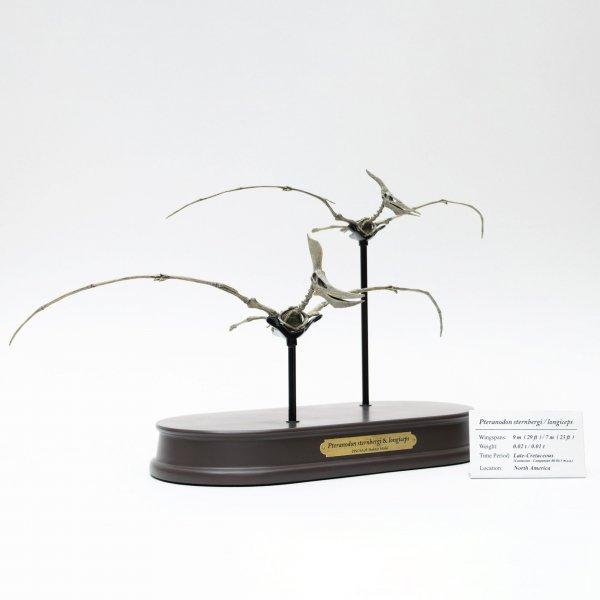 プテラノドン スケルトンモデル