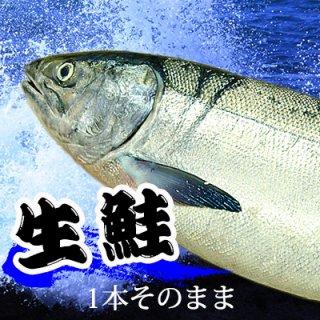 (冷蔵)生鮭約3.5kg〜4kg 【 メス】1本そのまま