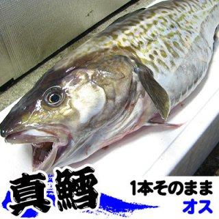 (冷蔵)生真鱈 【オス】1本 約5kgまたは6kg