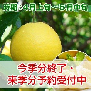 ニューサマーオレンジ 贈答用 3kg