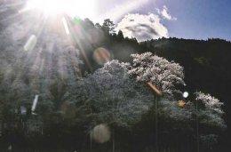 千年の桜に山の神