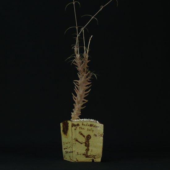 Ceropegia dimorpha