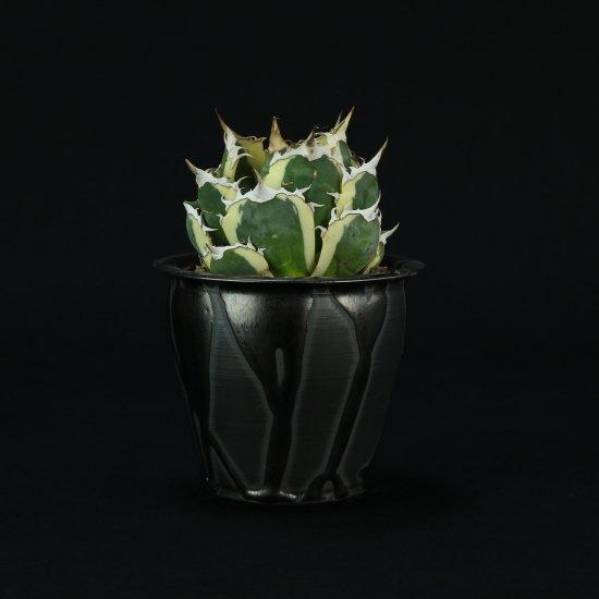 【Chika's Plants】Agave titanota snaggletooth