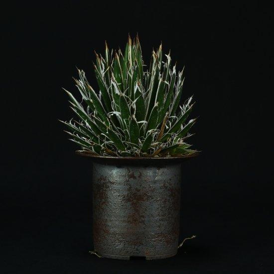 【Chika's Plants】Agave filifera