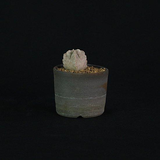 White sloanea crassa
