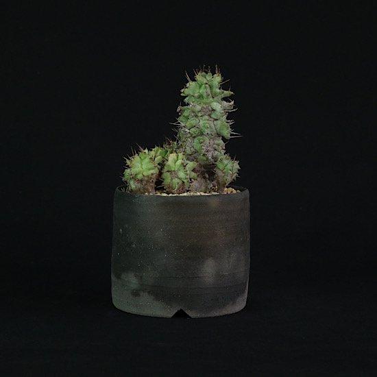 Euphorbia horrida monst.