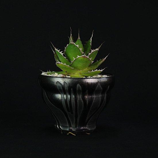 【Chika's Plants】Agave horrida