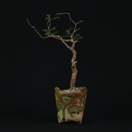 Commiphora monstrosa