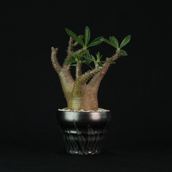 Pachypodium makayense