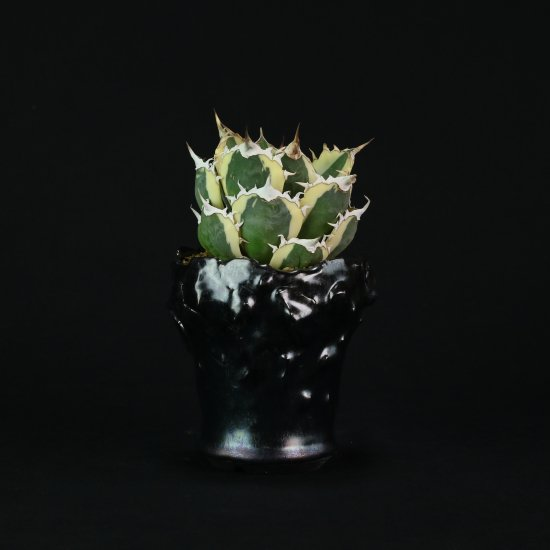 【Chika's Plants】Agave titanota snaggle tooth