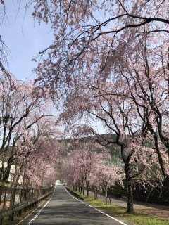 読み物 徳山の桜