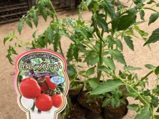 セレブスイートトマトの苗〔F1〕〔6本セット〕 ※送料無料