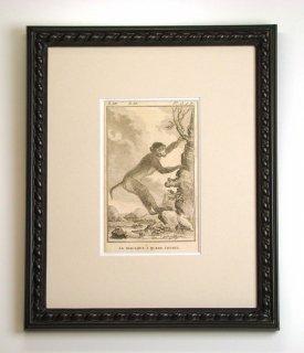 ビュフォン博物図版画 「尾が短いサル」(GB-06)