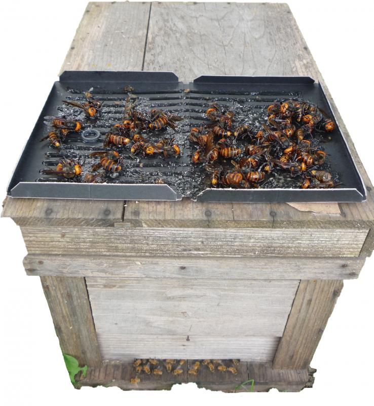 スズメ蜂捕獲用粘着板