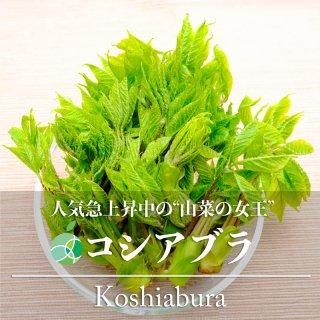 【送料無料】コシアブラ・こしあぶら(山菜)天然物 約300g 長野・新潟県産