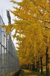 日野川沿いのイチョウ並木