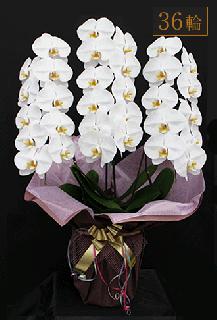 奇跡の胡蝶蘭「大輪長寿」3本立 36輪