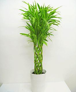 観葉植物 ミリオンバンブー