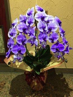 胡蝶蘭 紫(パープルエレガンス)3本立(30輪前後)