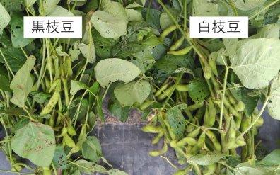 《期間限定!10月末まで》丹波篠山産 「白」枝豆 300g【さや】 化学農薬不使用