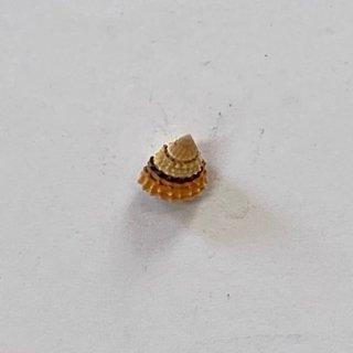 イガタマキビ貝