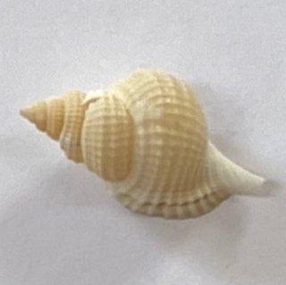 イボボラ貝