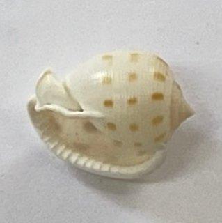 ウラシマ貝